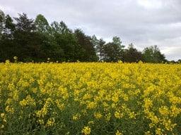 biofuels canola