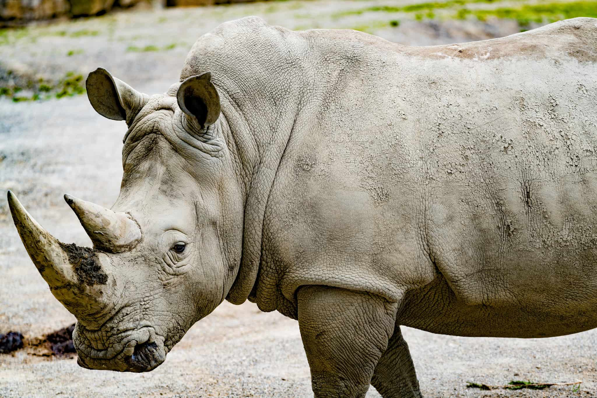 CEES Affiliate Examines the Economics of Synthetic Rhino Horns